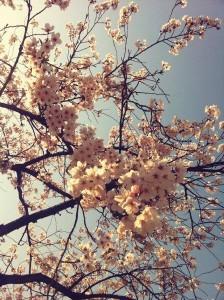 2015年3月28日中原公園の桜