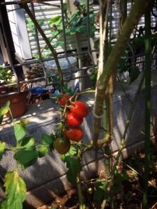 お客様が植えたトマトが育ちました
